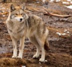 Keeping your Dog Safe from Coyote Attacks in Katy, Texas
