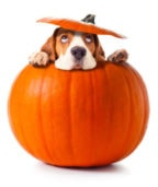 Pumpkin is a Miracle Food for Dogs